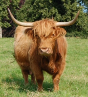 Highland Cattle, Kinloss Estate, Cupar, Fife